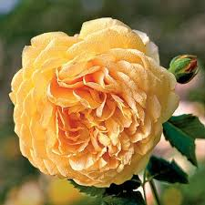 the 25 best types of roses ideas on pinterest david austin