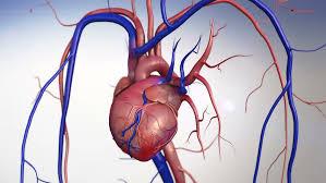 Heart Anatomy Arteries Heart Human Heart Model Human Heart Anatomy Artery Artery