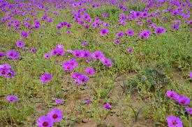 free images nature field meadow prairie purple flora