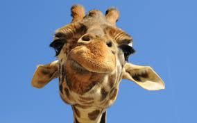 funny giraffe cartoon 6923114