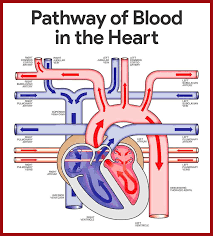 best hesi a2 study guide 2013 anatomy of the heart blood flow images learn human anatomy image