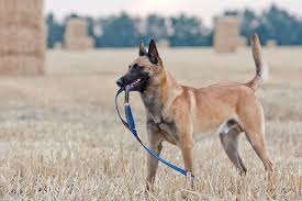 german shepherd dog breed information is the belgian malinois the right dog for you