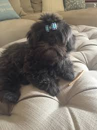 affenpinscher good bad shih tzu puppies for sale shih tzu breeder akc