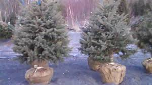 norway u0026 colorado blue spruce from chris orser landscaping youtube
