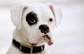 10 boxer dog facts a boxer world white boxer faq u0027s