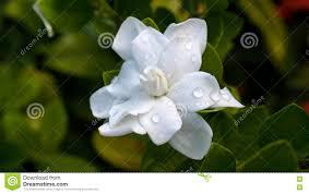 Gardenia Flower Gardenia Flower Blooming Stock Photo Image 76980405