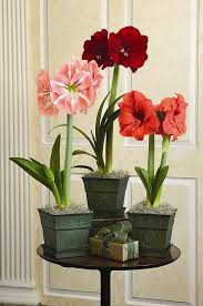 226 best gardening paperwhites and amaryllis bulbs images on