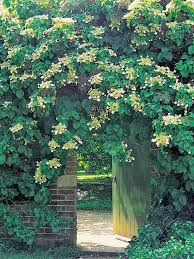 Climbing Plants That Flower All Year - 137 best garden climbers images on pinterest yellow flowers