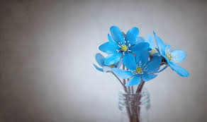 blue flower hepatica blue flower free photo on pixabay