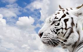 30 white tiger wallpaper hd pictures