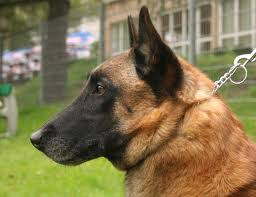 belgian shepherd dog temperament german malinois mix of belgian malinois and german shepherd