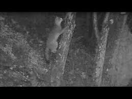 gray fox climbing trees