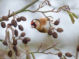 the world u0027s newest photos of goldfinch and stieglitz flickr hive