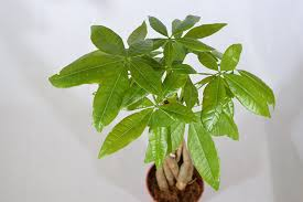 amazon com 9greenbox 5 money tree plants braided into 1 tree