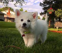 how big is american eskimo dog american eskimo dog once a popular circus dog