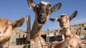what u0027s it really like to work in a prison goat milk farm we asked
