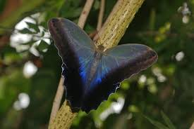 owl butterfly with open wings picture of the butterfly and