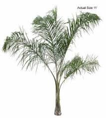 buy palm trees syagrus romanzoffiana palms palmtrees