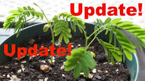 update on mimosa tree seedlings