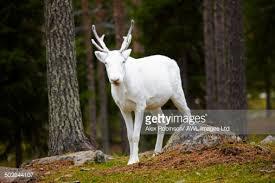 finland lapland salla salla reindeer park a white reindeer with