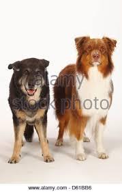 australian shepherd red tri australian shepherd red tri and mixed breed dog 15 years