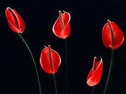 Flower Love Pics - best 25 red flower wallpaper ideas on pinterest flower