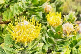 Protea Flower South Africa - yellow protea flowers shot in western cape south africa stock