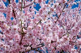 free photo tree japanese cherry trees flower tree pink flowers max
