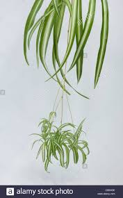 spider plant chlorophytum comosum stock photos u0026 spider plant