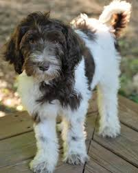 doodle doo labradoodles 979 best labradoodle images on canes cars and collie