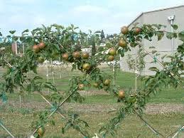 68 best fruit trees u0026 bushes images on pinterest fruit trees