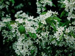 Fragrant Flowers For Garden - pacific horticulture society plants that make scents