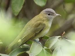 neon light bird u2013 yellow green vireo san diego birding