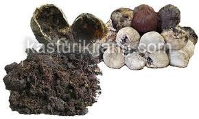 Minyak Wangi Kasturi khasiat minyak kasturi kijang asli kasturi kijang asli khalifah