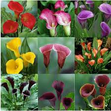 calla bulbs colorful calla seed plants flowers seeds not calla