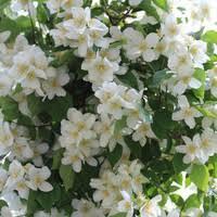 White Flowering Shrub - overlooked flowering shrubs for new england gardens
