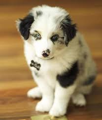 australian shepherd or border collie best 20 collie mix ideas on pinterest border collie mix dogs