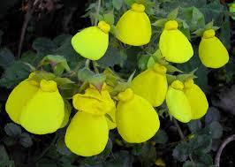 slipper flower calceolaria tomentosa the yellow slipper flower