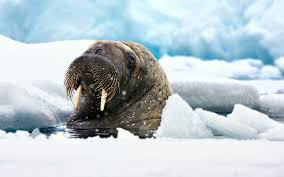 walrus wallpaper 37229