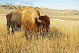 Interior Plains Population Bison Alberta Wilderness Association