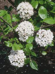 tree with white flowers the most fragrant shrubs types of shrubs hgtv