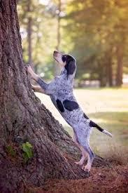 bluetick coonhound labrador retriever mix for sale labrador retriever intelligent and fun loving bluetick