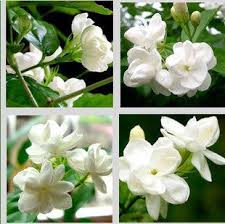 Fragrant Container Plants - buy desktop potted plants balcony jasmine fragrant flowers