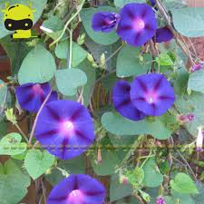 aliexpress com buy long lasting tricolor blooms morning glory