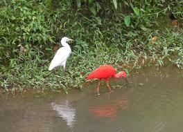 100 pdf scarlet ibis answer key zoolex exhibit ram u0027s