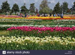 people admiring colorful field of tulips flowering gardens in