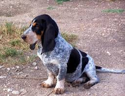 lifespan of a bluetick coonhound life span of spanish hound