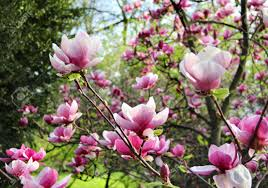 beautiful trees in bloom with beautiful big flowers stock photo
