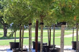 a line of live oak trees for sale at a plant nursery stock photo