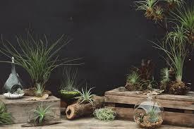 Air Plants Air Plants Succulents Cacti Hoen U0027s Garden Center U0026 Landscaping